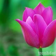 http://tranhdecor.com/wp-content/uploads/2013/06/tranh-hoa-tulips-2.jpg