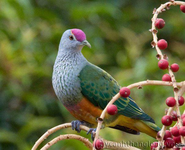 tranh phong thuy chim bo cau